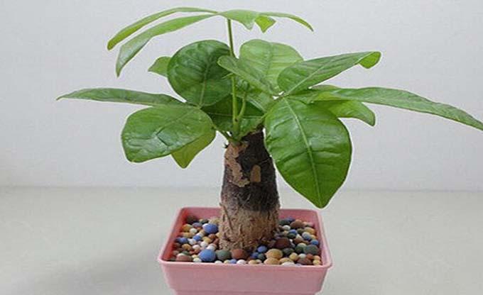 发财树的养殖方法,发财树养殖的注意事项【每个人